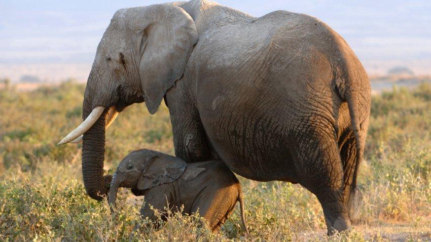 Amboseli elephant and baby