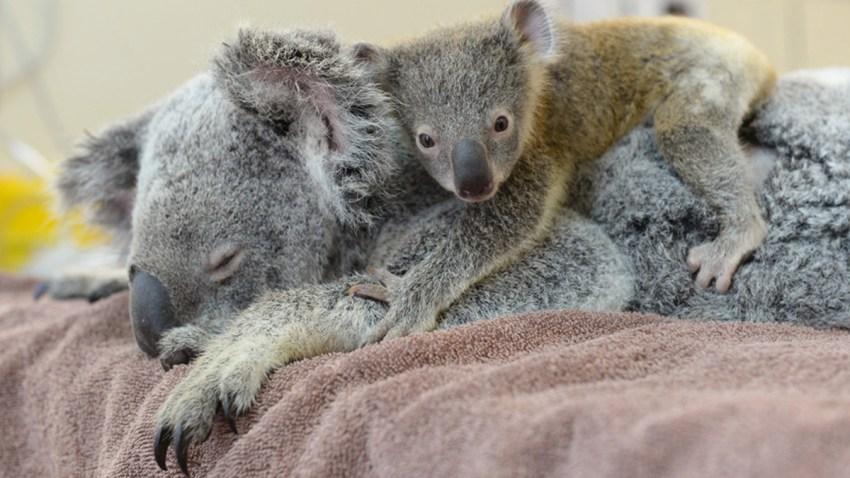 Koala-Lizzy-con-bebe-Joey-The-Phantom-zoo-Australia-Hospital-01