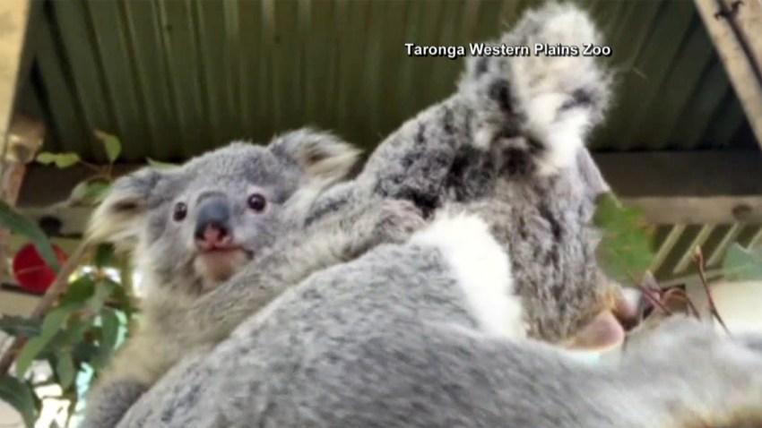 koala-nuevo-zoo-australia