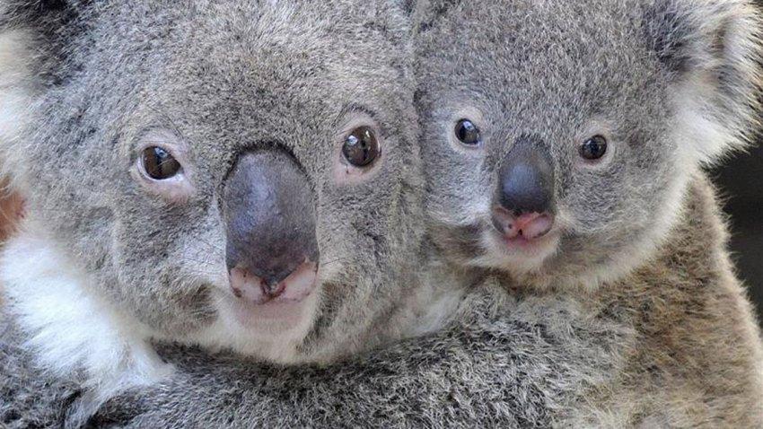 Two koalas hugging