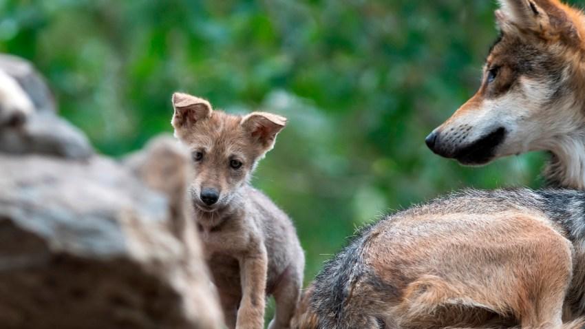 Cachorro de lobo gris mexicano