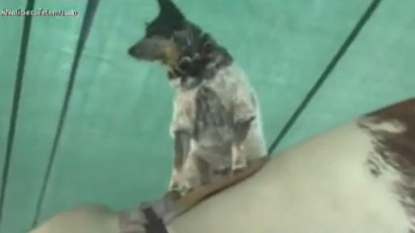 perra-toro-mecanico