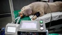 Prueban en cerdos un respirador que sería utilizado en humanos con COVID-19