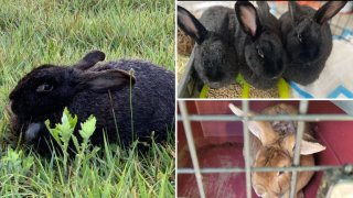 Abandoned bunnies rescued in Long Island woods