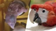 Guacamaya roja sorprende en zoológico de Nicaragua