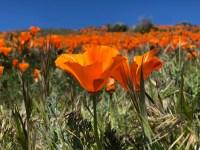 Los campos de flores silvestres del sur de California están llenos de color primaveral después de un invierno de tormentas persistentes que empaparon la región.