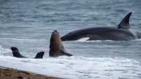 Un grupo de ballenas asesinas atacan a varios leones marinos en Argentina.