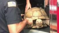 Mire como una enorme tortuga fue hallada paseando por una calle en la ciudad de El Cajon. Por fortuna fue rescatada por paramédicos de la misma ciudad.
