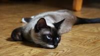 Si eres amante de los gatos pero sufres de alergias, no te desanimes. Aquí te mostramos algunas razas de gatos que no te harán salir corriendo por un...
