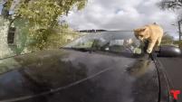El animalito va con su dueno en todo los recorridos y se sale del auto en movimiento.