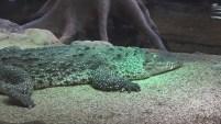 El cocodrilo saltó y se aferró a su brazo durante unos 10 segundos.