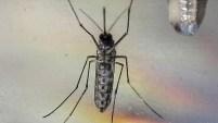 Se trata del aedes aegypti, que no para de chupar la sangre de sus presas, los humanos. Aquí te contamos todo lo que debes saber sobre este insecto responsable...