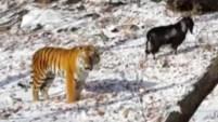 Contrariamente a su naturaleza depredadora, un tigre no solo no se comió a una cabra, sino que parece haber forjado una amistad con ella.