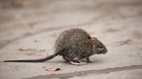 Una empresa reveló cuáles son las ciudades peor infestadas por ratas.