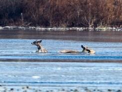 Dramático rescate: venados caen en lago congelado