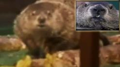 Marmota de NY concuerda con predicción del tiempo