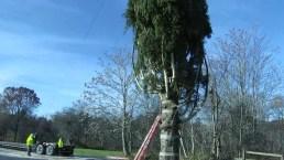 Cortan el árbol navideño que iluminará la plaza Rockefeller