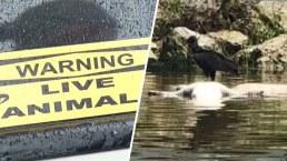 ¿Quién lo hizo? Encuentran seis caimanes baleados en Florida