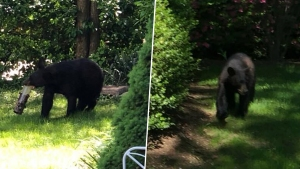 Al acecho: nuevo episodio de oso hambriento en NJ