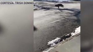 Captan a coyote deambulando por vecindario de Boston