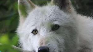 Conoce el centro de conservación de lobos de NY