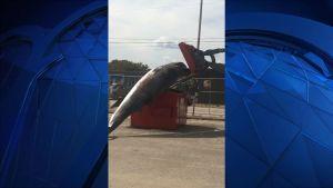 Transporte de ballena muerta termina con accidente