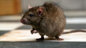 Suburbios de Boston sufren problemas de ratas