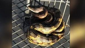 Aterrador: halla una serpiente enrollada en un carrito de Walmart