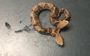Hallan serpiente de dos cabezas al norte de Virginia