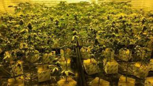 Marihuana y su legalización, entrevista con experta