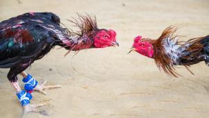 Cámara federal da paso a medida que prohíbe peleas de gallos