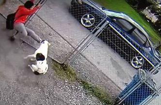 Impresionante: pitbull persigue a niño en brutal ataque