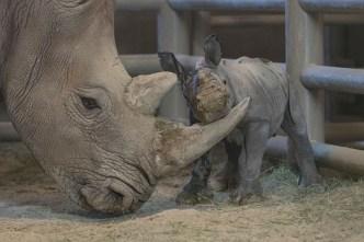 Nace la 100ª cría de rinoceronte en el Safari Park