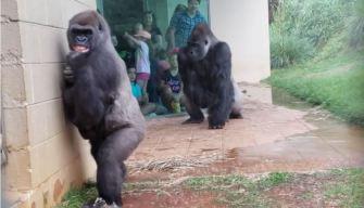 Viral: la reacción de gorilas con sus crías por la lluvia