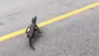Policía ayuda a bebé caimán a cruzar la carretera