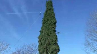 Buscan el árbol de Navidad perfecto en Providence