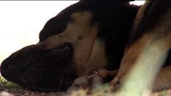 Investigan supuesto envenenamiento de perros en San Sebastián