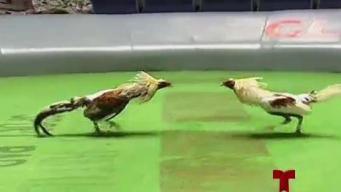Galleros continúan en batallan contra la posible prohibición de peleas de gallos