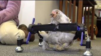Niña de Vermont defiende a gallina en silla de ruedas