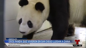 Osos panda que vivieron en San Diego llegan a China