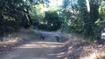 Avistan gatos monteses cerca de Cupertino