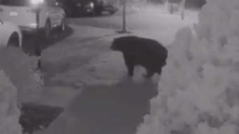 Prince William: preocupa avistamiento de enorme oso