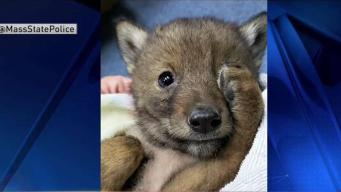Rescatan a bebé coyote en las calles de Revere