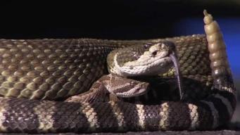 Aparición de serpientes afecta servicio del correo en vecindario de California