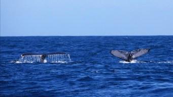 Ballenas jorobadas arriban a República Dominicana