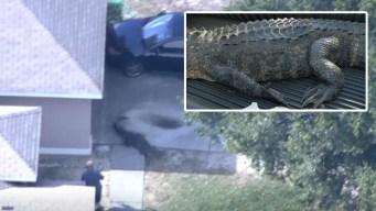 Enorme caimán la deja atrapada en su casa