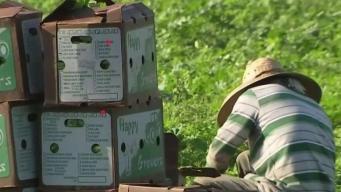 Trabajadores del campo podrían recibir residencia permanente