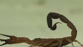 Veneno de escorpión contra el cáncer