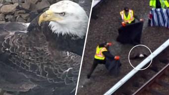 Rescate de águila calva afecta trenes durante horas