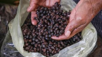 Nucú, la hormiga comestible manjar de México
